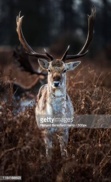 animal image - リッチモンド公園 ストックフォトと画像