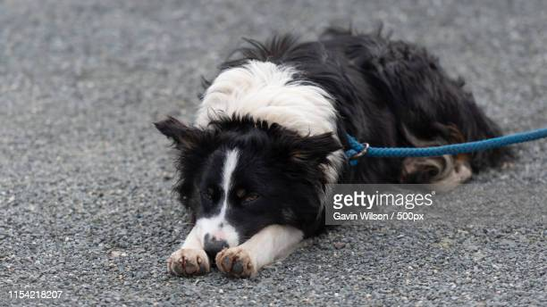 animal image - trained dog stock pictures, royalty-free photos & images