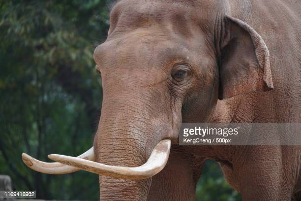animal image - asian elephant stock pictures, royalty-free photos & images