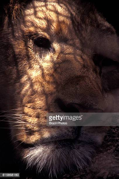 Animal in zoo sad lion in cage grating shadow projected on its head Rio de Janeiro zoo Brazil