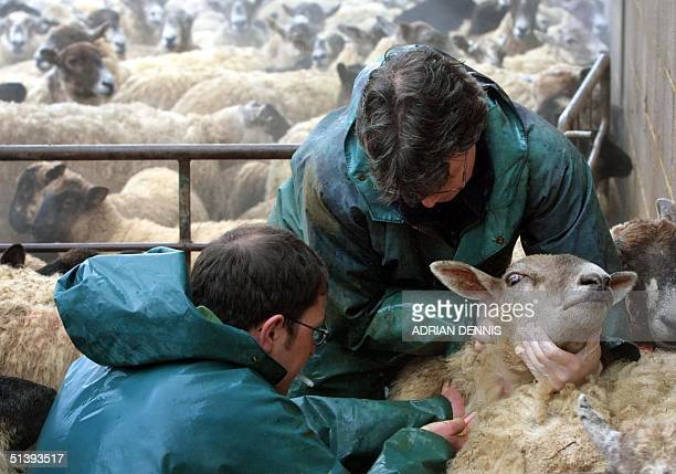 Animal inspectors from the Ministry of Agriculture Food and Fisheries take blood samples from sheep on Tom Griffith's farm in Great Doddington near...