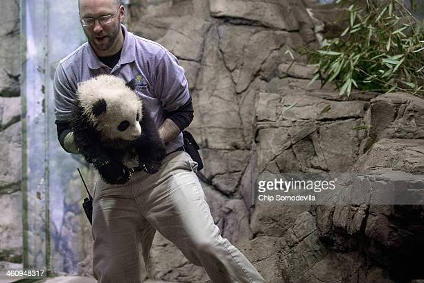 Animal Keeper Marty Dearie carries giant panda bear cub Bao Bao inside the David M Rubenstein Family Giant Panda Habitat at the Smithsonian National...
