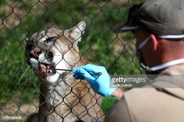 Animal keeper Sam Delzell feeds a mountain lion at the Oakland Zoo on April 16, 2020 in Oakland, California. Since the Oakland Zoo has been closed to...
