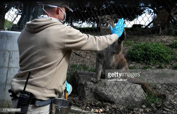 Animal keeper Sam Delzell touches the paw of a mountain lion during a feeding at the Oakland Zoo on April 16, 2020 in Oakland, California. Since the...