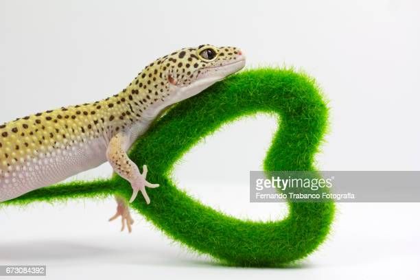 Animal lizard in love holds with his hand a green heart gift on valentines day