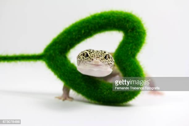 Animal lizard in love pokes head through a green heart gift on valentines day