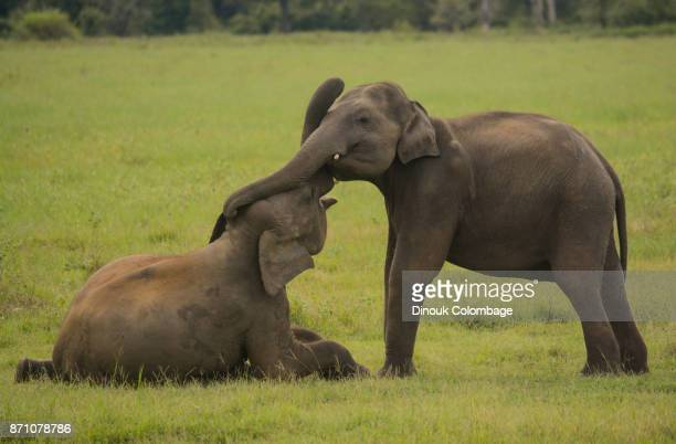 60 Top Elephant Sex Pictures, Photos and Images - Getty Images