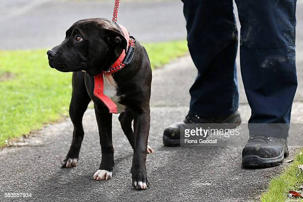 Animal Management Officer Kirsten impounds an unregistered dog in Ranui which was released after the owner paid the registration fee on July 27, 2016...