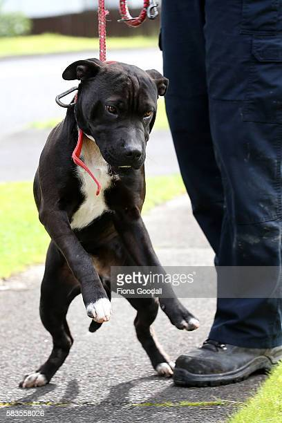 Animal Management Officer Kirsten impounds an unregistered dog in Ranui which was released after the owner paid the registration fee on July 27 2016...