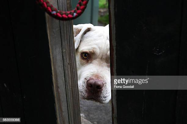 Animal Management Officer Kirsten prepares to remove a Pitbull from a Swanson property on July 27 2016 in Auckland New Zealand The Auckland Council...