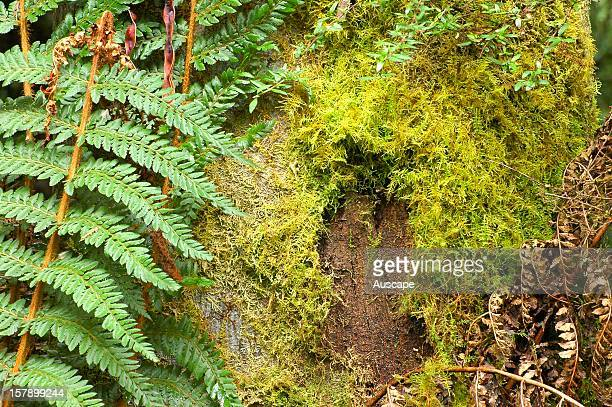 Animal mark shows presence of fauna in temperate rainforest Liffey River Reserve foothills of the Western Tiers Tasmania Australia