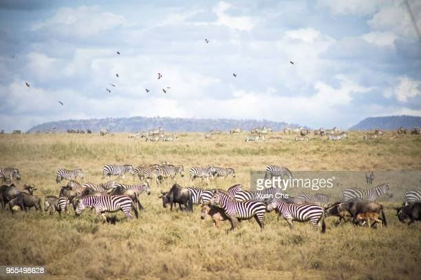 animal migration in serengeti - xuan che stock pictures, royalty-free photos & images