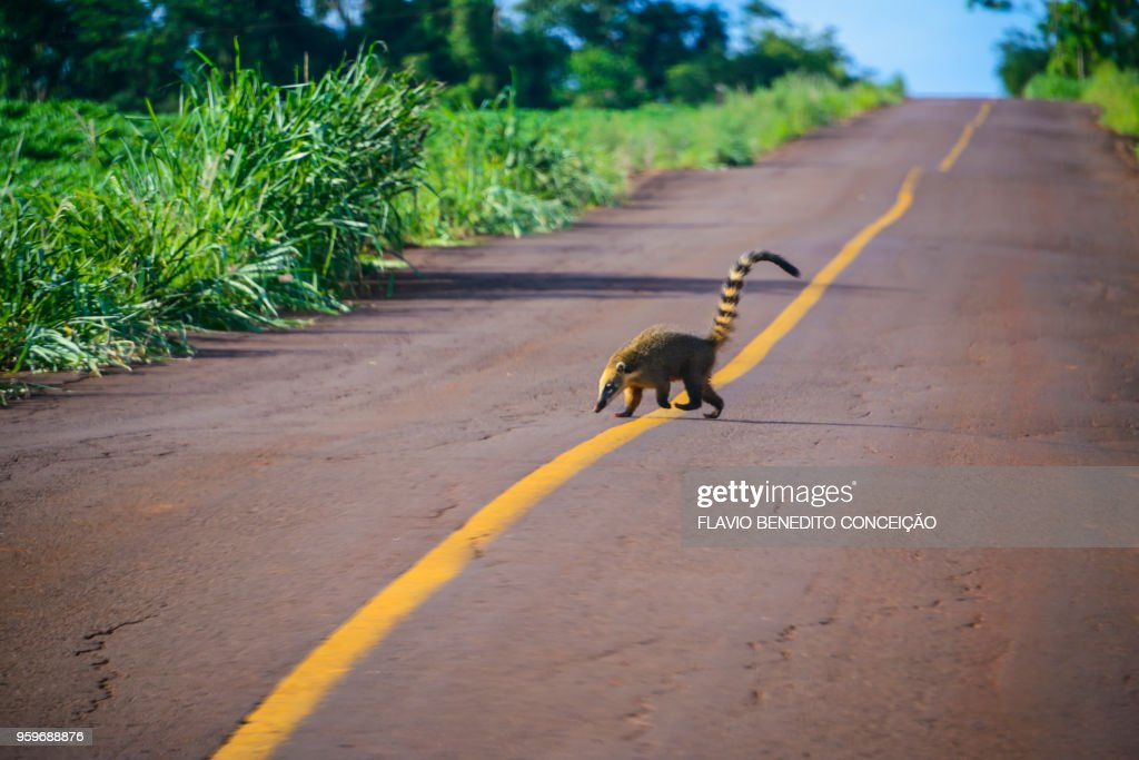 animal of the quati species passing or crossing highway in rural area : Stock-Foto