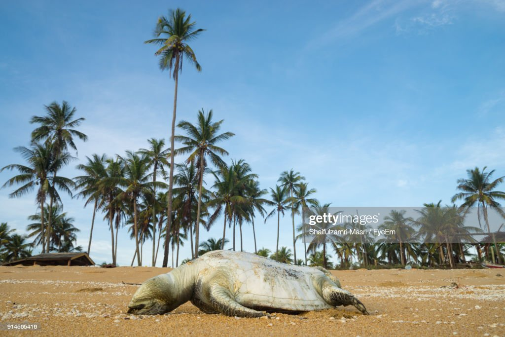 Animal On Sand Against Coconut Palm Tree : Stock Photo
