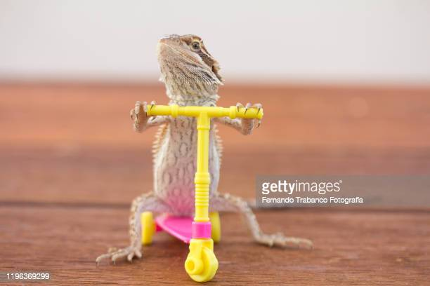 animal on scooter - bearded dragon stock pictures, royalty-free photos & images