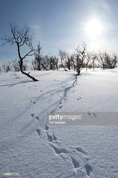 Animal pawprints in the snow in arctic landscape at Kvalysletta Kvaloya Island Tromso in Arctic Circle Northern Norway