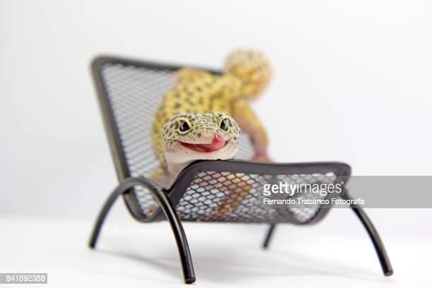 Animal puts out tongue lying on a chair