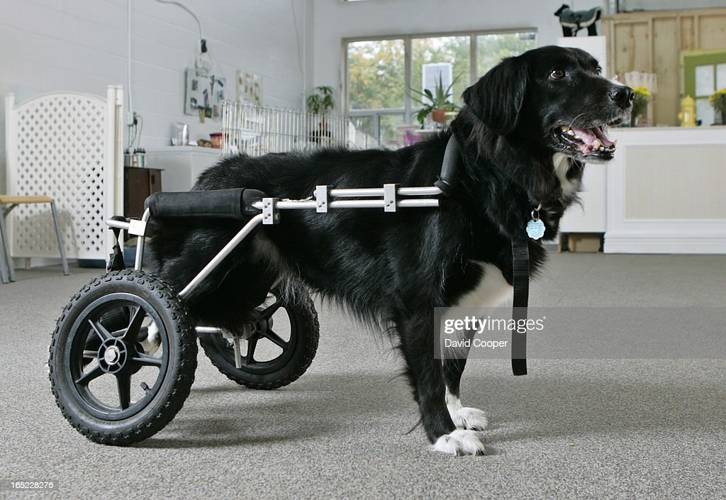 Animal rehabilitation Tania Costa is an animal rehabilitator, who runs the Canine Wellness Centre. Bella who has Intervertebral disc disease, is a client who's backend must be supported by a wheelchair.