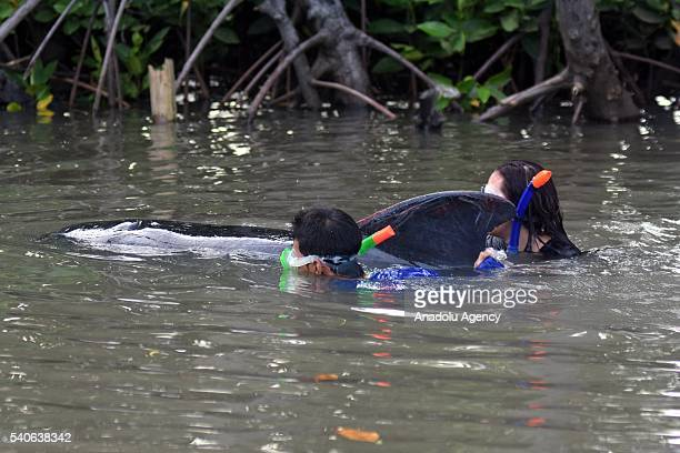 Animal rescuers try to rescue a short fin pilot whale which washed up on Randu Pitu village beach on June 16 2016 in Probolinggo East Java Province...