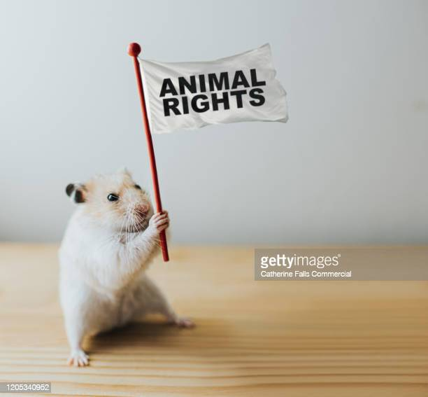 animal rights activist hamster - demonstration stock pictures, royalty-free photos & images