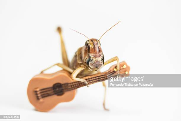 animal singing and playing the guitar in flamenco concert - saltamontes fotografías e imágenes de stock