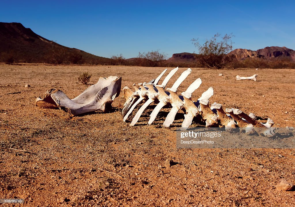 Animal skeleton in the desert, Harquahala, Arizona, USA : Stock Photo