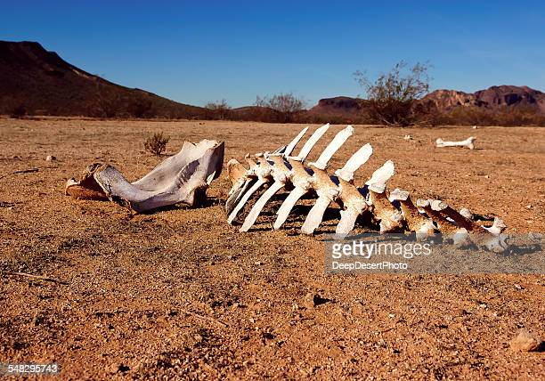 Animal skeleton in the desert, Harquahala, Arizona, USA
