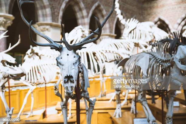 animal skeletons in oxford university museum of natural history - natural history museum stock pictures, royalty-free photos & images