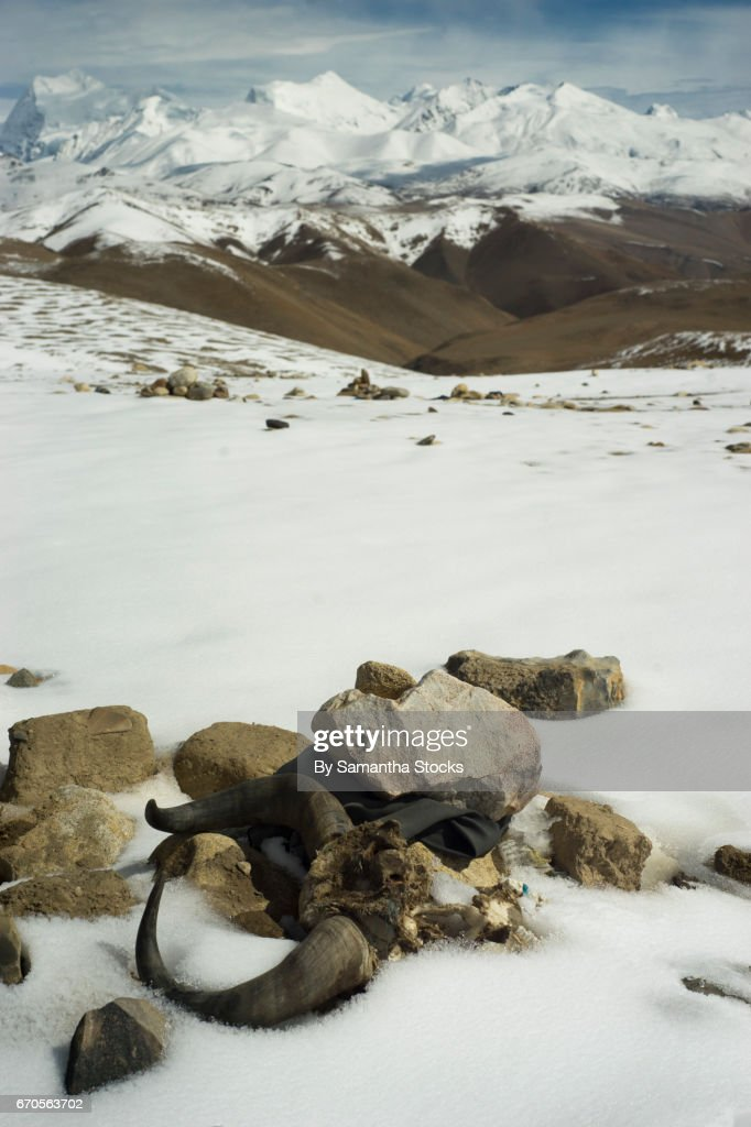 Animal skull in the Tibetan Himalayas : Stock Photo