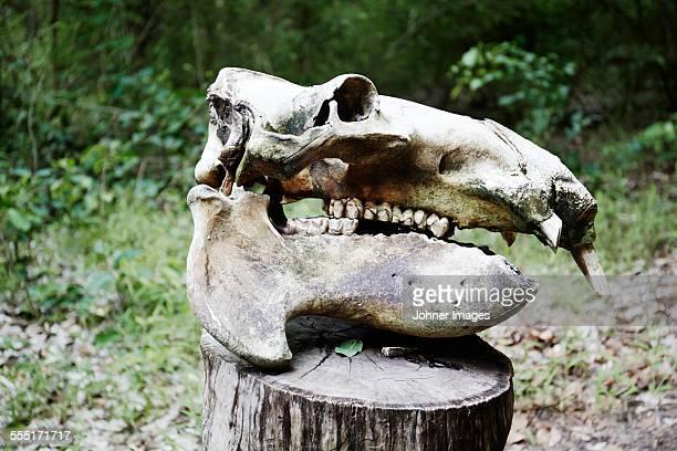 Animal skull on stump