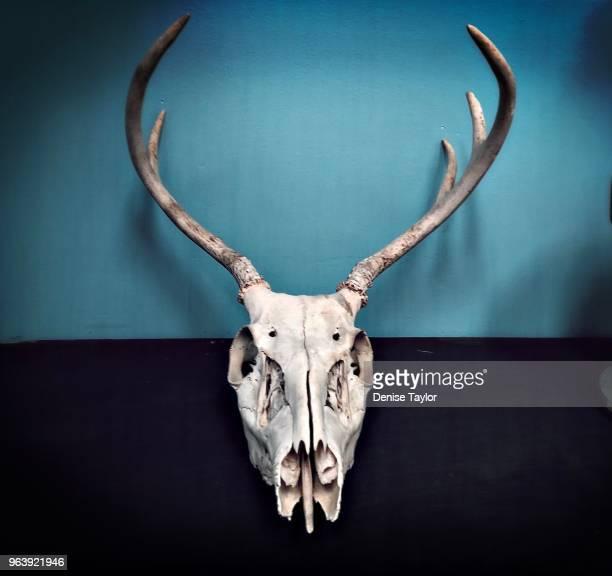 animal skull with long horns