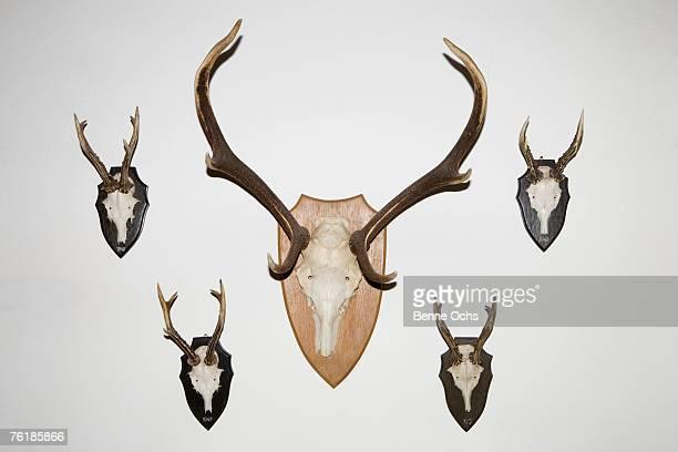 animal skulls and antlers on a wall - galhada - fotografias e filmes do acervo