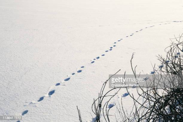 Animal Snow Tracks, Deer Tracks, Fox Tracks in Snow