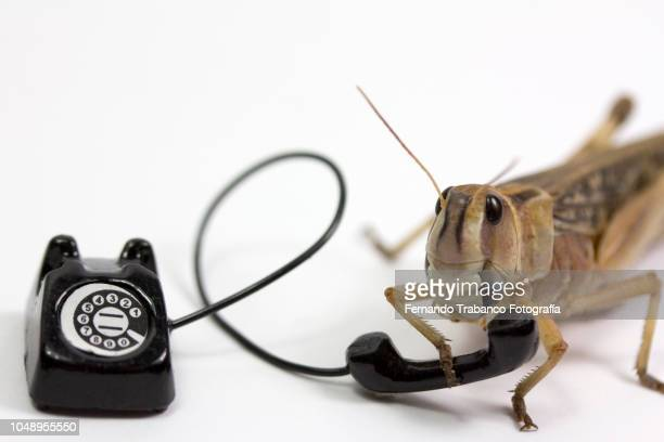 animal speaks on the phone - cricket insect stock pictures, royalty-free photos & images