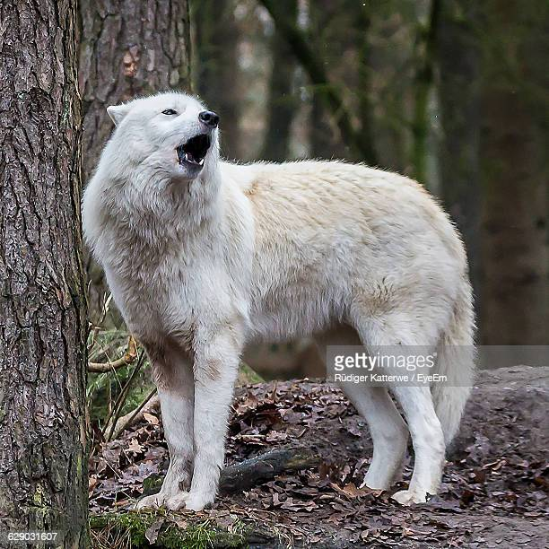 animal standing on field - loup blanc photos et images de collection