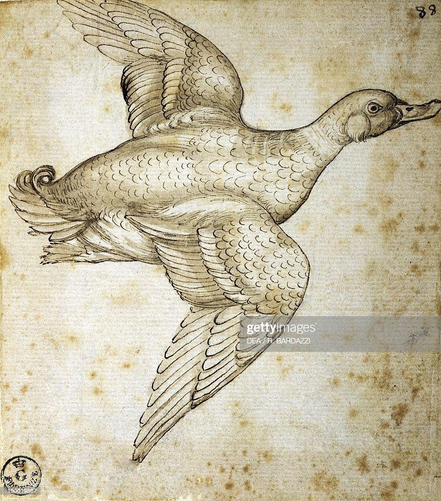 Animal studies: duck : News Photo
