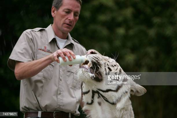 Animal trainer Lee Munro bottle feeds Odin a five yearold White Bengal Tiger during a big cat show at Six Flags Discovery Kingdom June 1 2007 in...