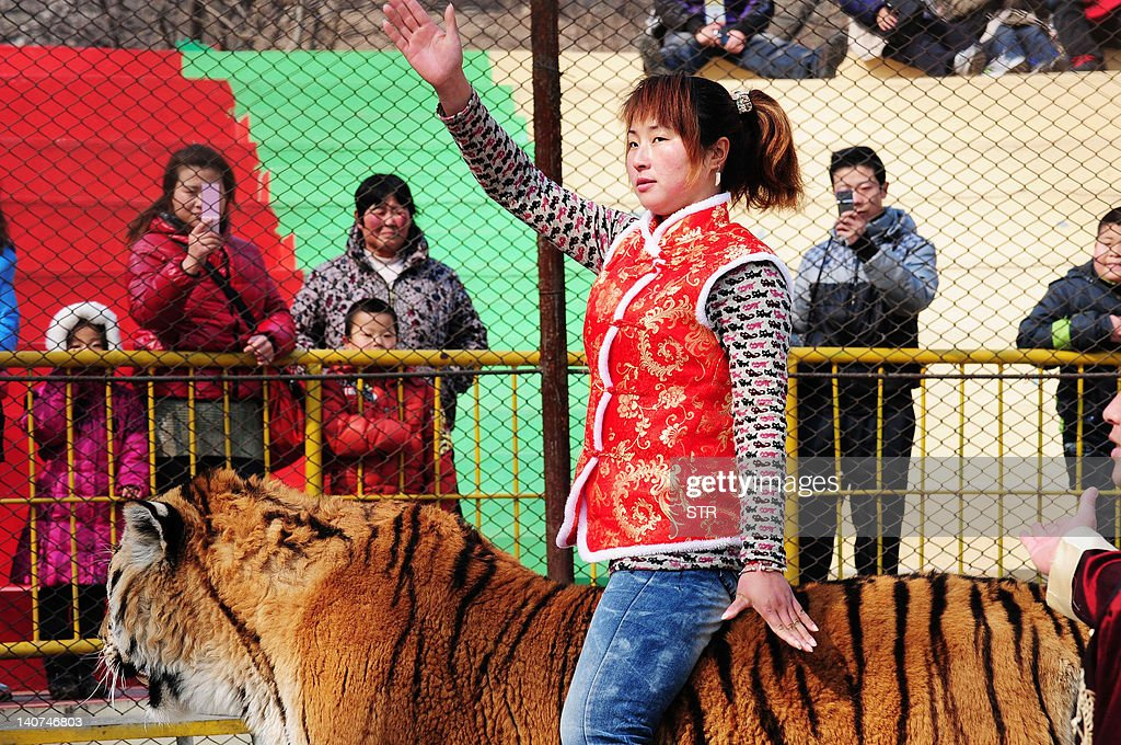 Animal trainer Li Kuiyan rides a Siberian tiger to entertain visitors at the Forest Wild Animal World in Qingdao, northeast China's Shandong province on March 6, 2012. The largest wild cat in the world, the Siberian Tiger is also one of the most endangered, known to inhabit the Boreal forests in far eastern Asia residing largely in Russia but also reported in China and North Korea. CHINA