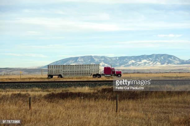 animal transport near belgrade, montana, usa - livestock stock pictures, royalty-free photos & images