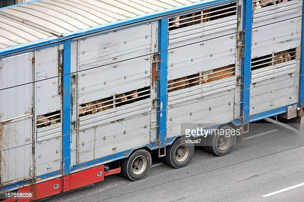 animal transportation - livestock stock pictures, royalty-free photos & images
