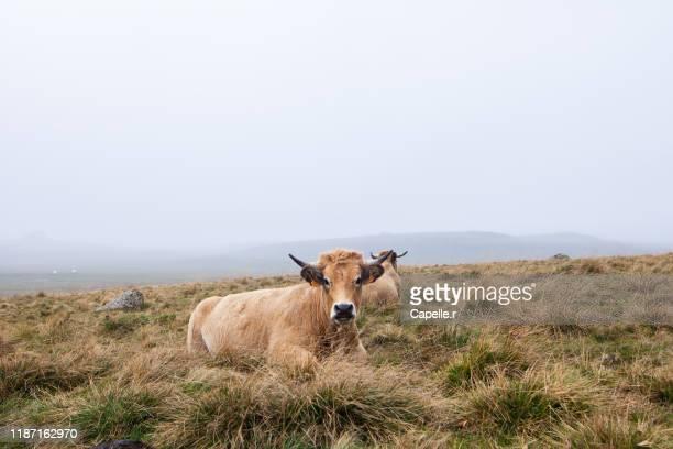 animal - vache dans un champs - herbivorous stock pictures, royalty-free photos & images