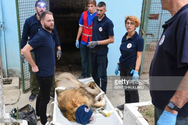 Animal welfare activists of 'Four Paws' remove Lenci a 15 years old lion from a private zoo in Fier on October 28 2018 The Albanian authorities...