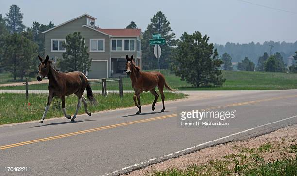 Animal Welfare officers from Pueblo Animal Services their trailer is just out of view lure a horse and a mule behind their trailer to get them out of...