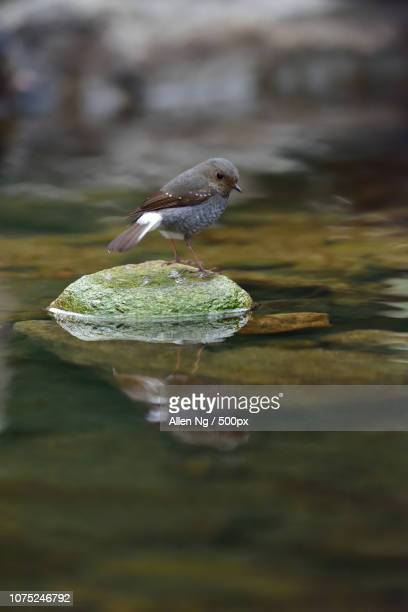 animal - wildlife - bird - rhyacornis fuliginosus - bamboo dipper stock photos and pictures
