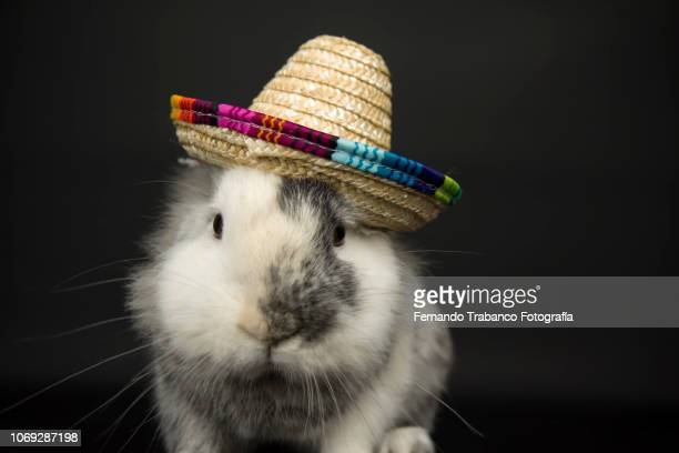 animal with mexican hat - rabbit beach stock photos and pictures