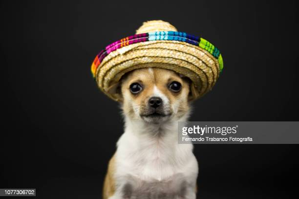 animal with mexican hat - mexican christmas stock photos and pictures
