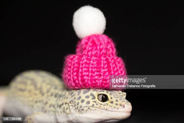 animal with pink hat - hibernation stock pictures, royalty-free photos & images