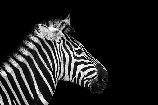 animal zebre portrait 891429466