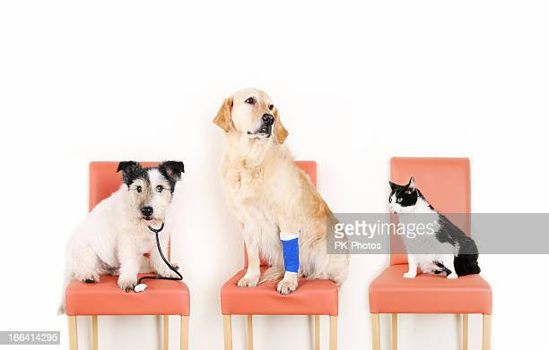 animals at the vet - bandage stock photos and pictures