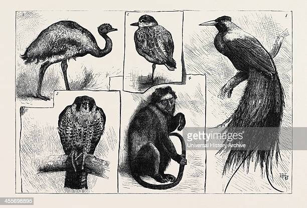 1 The Red Bird Of Paradise 2 The Grey Plover 3 Darwin's 'Rhea' 4 The Pluto Monkey 5 The Juggur Falcon